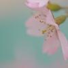 Pastel sakura