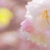 桜色を重ねて