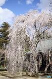 青空と姫桜