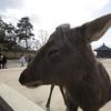 奈良 鹿さん