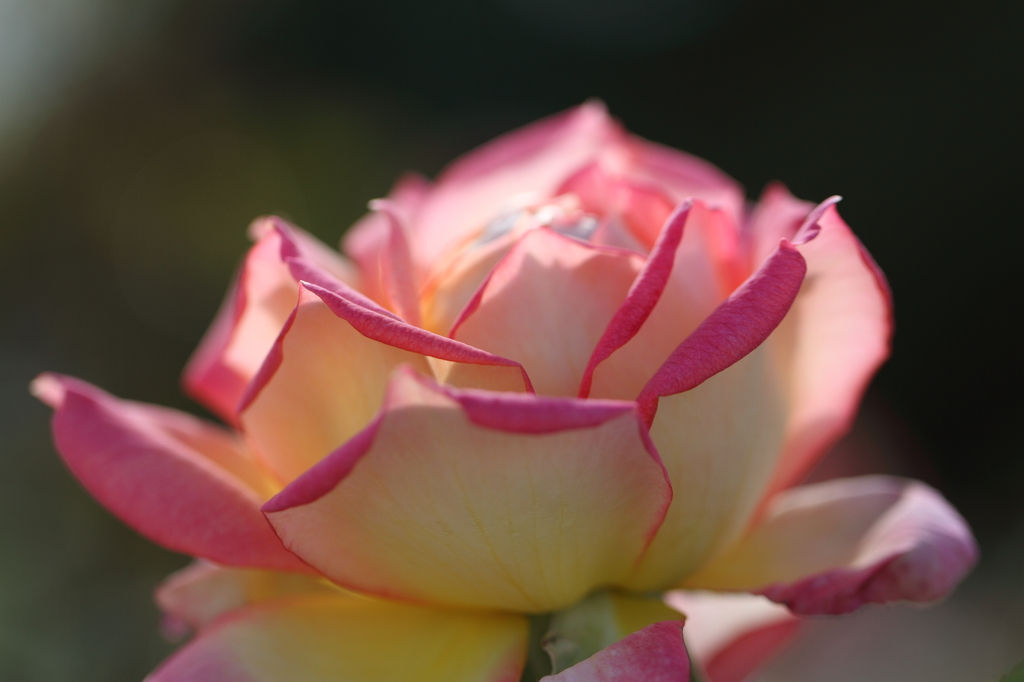 桃色のバラ
