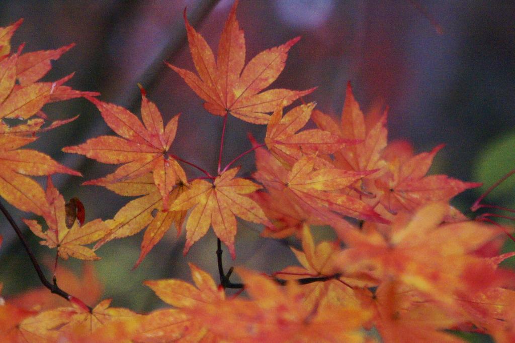 紅葉(橙)