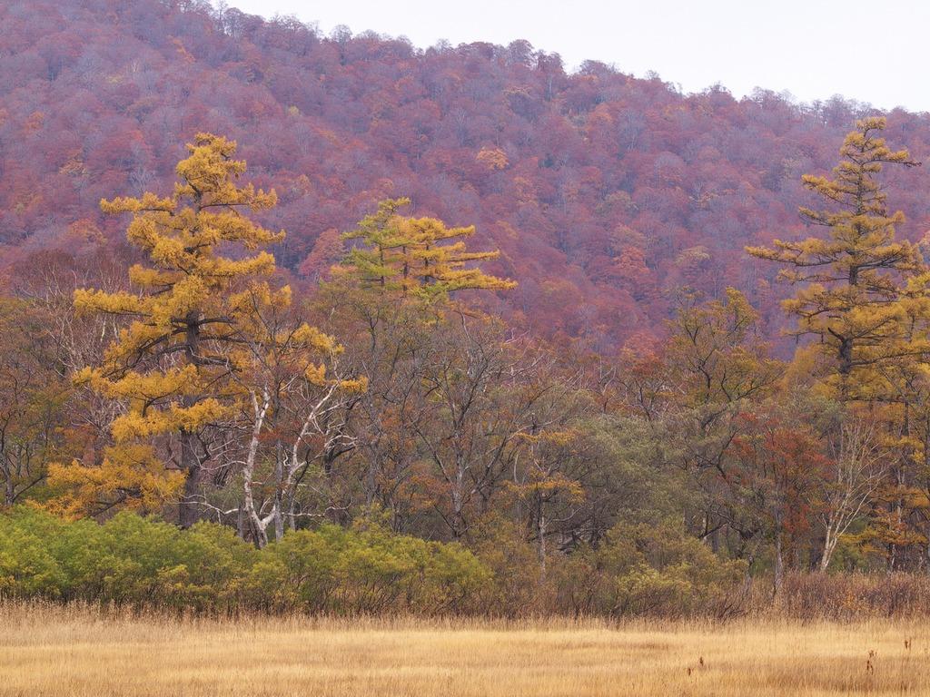 晩秋の尾瀬ヶ原ー黄葉