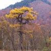 晩秋の尾瀬ヶ原ー形のいい木