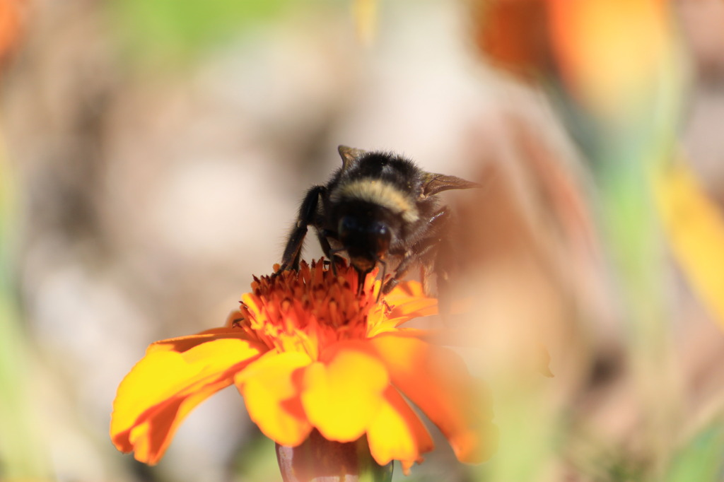 クマバチかな?