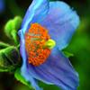 近接・ヒマラヤの青いケシ
