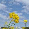 房総の菜の花畑