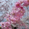 清雲寺の桜