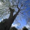 しだれ桜(1)