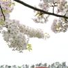 桜とトゥーンタウン
