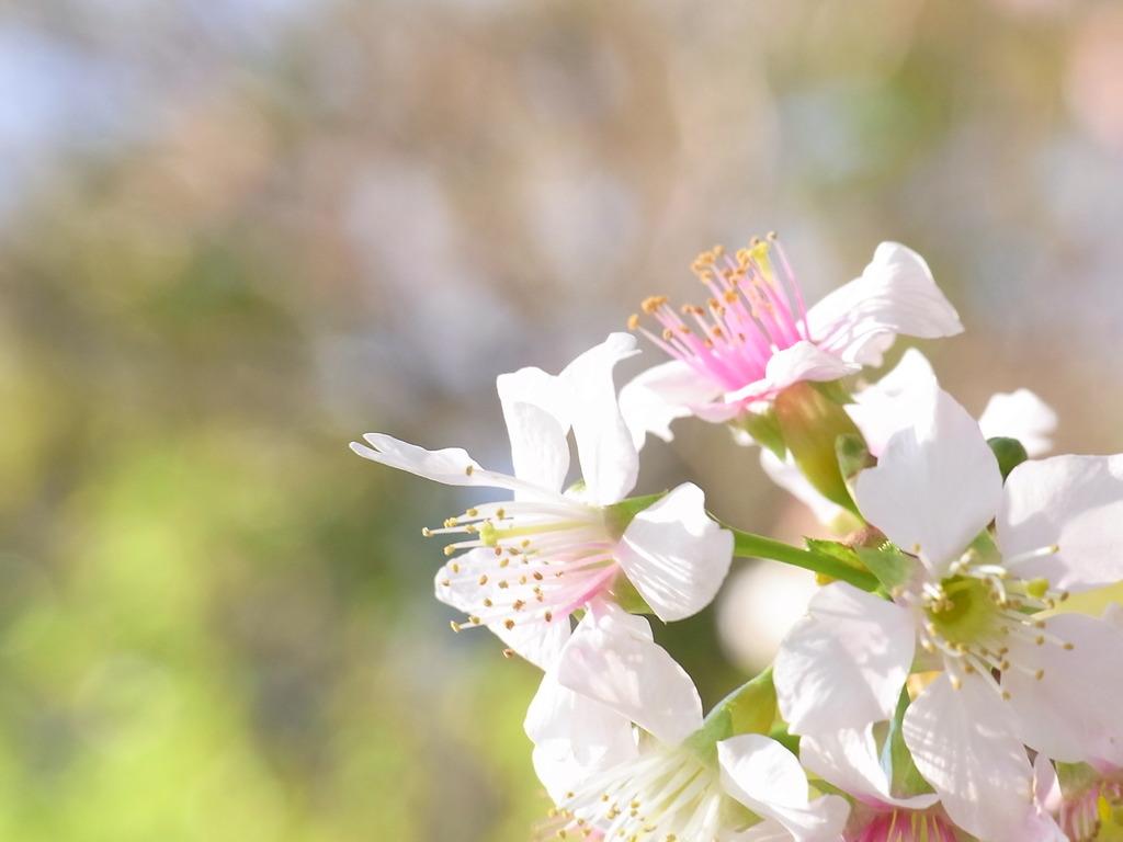 ひまらや桜