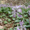 かたくりの花2