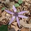 かたくりの花3