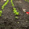 秋の野菜畑