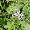日本最大の蝶 オオゴマダラ