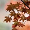 浄瑠璃寺紅葉