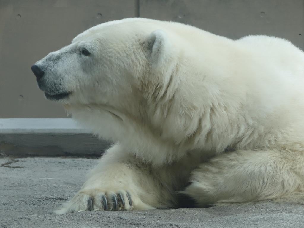 旭山動物園 北極熊