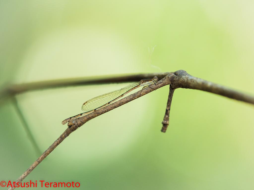 ホソミイトトンボ♀越冬態