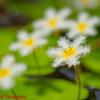 ガガブタ(花弁6枚型)