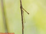 ホソミイトトンボ♂越冬態