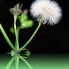 miracle dandelion