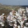 秋吉台の桜