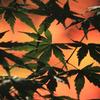 緑のモミジと紅葉