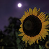 Sunflower  with moonlight