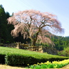 しだれ桜 春爛漫