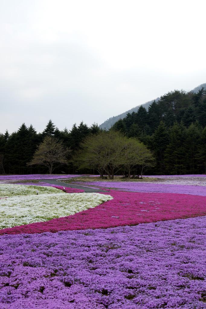 富士山 本栖湖付近 芝桜