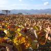 葡萄の紅葉の海