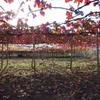 真っ赤な葡萄棚
