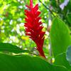 ハワイの赤い花