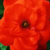 red wild rose