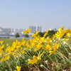 お台場の黄色い花