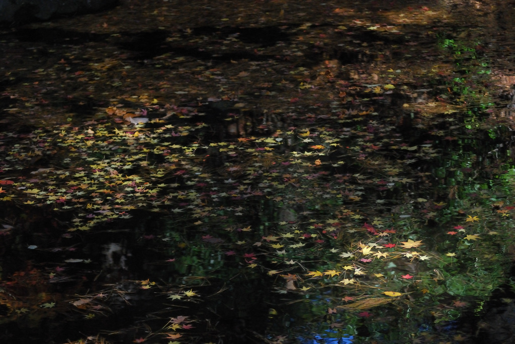 池に浮かぶ落紅葉2
