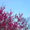 ピンクに染まる梅の花