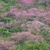 南国的桜景色