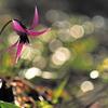 かたくりの花