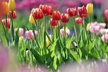 Ice tulip
