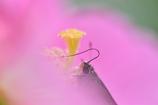 pollen ribbon