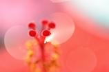 Hibis