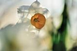 Narcissus Ⅱ