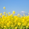 rapeseed blossom