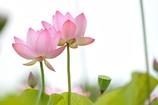 LotusⅣ