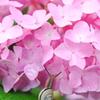 紫陽花にキッス