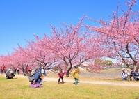 NIKON NIKON D5300で撮影した(うきうき満開)の写真(画像)