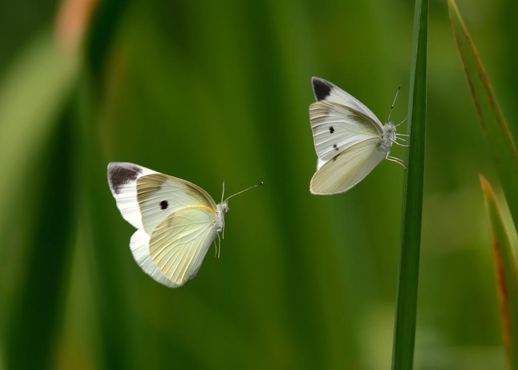 モンシロチョウの画像 p1_2