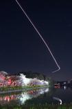 夜桜の誘導灯
