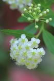 Five petal